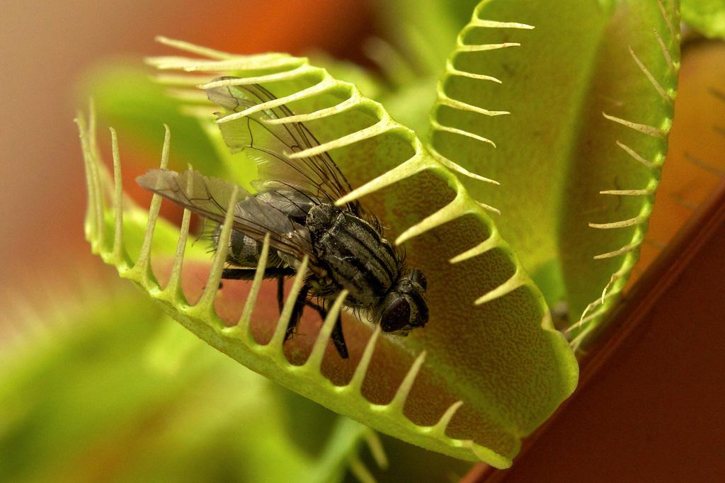 фото цветок хищник